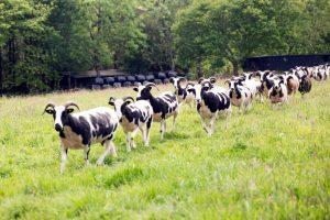 shutecombe-flock